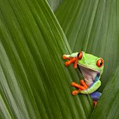 red eyed tree frog hiding in green background leafs Agalychnis callydrias exotic amphibian macro tre