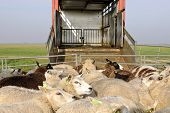 sheep transport