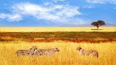 Group Of Cheetahs In The African Savannah. Africa, Tanzania, Serengeti National Park.  Wild Life Of  poster