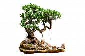 Evergreen bonsai isolated on white background poster