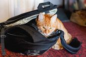 Cute Ginger Cat Sitting In Black Backpack. Domestic Fluffy Pet Loves To Settle In Bags. poster