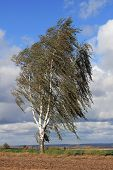 Birch Tree In The Storm