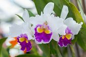 Cattleya Orchid. Flower In Garden At Sunny Summer Or Spring Day. Flower For Postcard Beauty Decorati poster