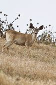 pic of blacktail  - Two forms of black - JPG