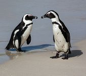 Penguin Pair On The Clean Sand At The Sea Shore poster