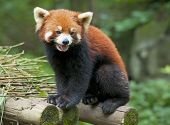 stock photo of nepali  - a curious red panda bear stands on the wood - JPG