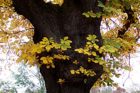 picture of tatas  - A deteale picture of a chesnut tree in Tata Hungary at fall - JPG