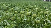 artichokes growing in Salinas Valley