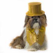 Shih Tzu In A Gold Fancy Costume