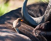 Yellow Billed Ox-pecker On Buffalo