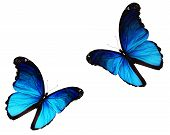 Two Morpho Blue Butterflies Flying, Isolated On White Background