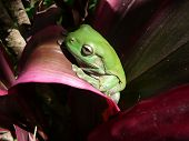 Green Tree Frog On Red Leaf Plant