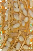 Group Of Silk Worm Cocoons Nests Color White