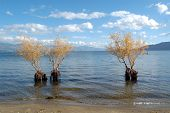 willows in lake prespa in macedonia