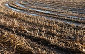 stock photo of zea  - Closeup of a Dutch stubble field of harvested silage maize with reflecting puddles in the autumn season - JPG