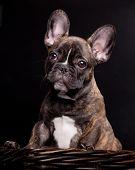französische Bulldogge Welpen auf schwarz