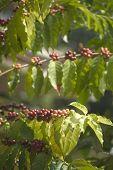 Coffee Plants In The Sun