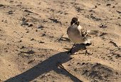 foto of mockingbird  - Small Galapagos Mockingbird or mocking bird on beach of Galapagos Islands national park - JPG