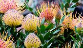 Common Pincushion Protea