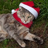 Tortoiseshell-tabby Cat In Santa Hat And Scarf
