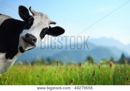 Funny cow on a green meadow looking to a camera with Alps on the background poster