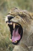 Lioness yawning close-up