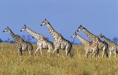 Group of Maasai Giraffes (Giraffa Camelopardalus) on savannah