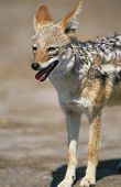 Black-backed Jackal (Canis Mesomelas) on savannah