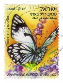 African Butterfly Pioneer White Or African Caper