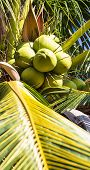 Green Coconut On Coconut Tree, Closeup, Vertical Shot