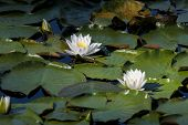 Pair Of Water Lilies.