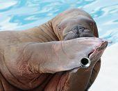 walrus portrait in zoo