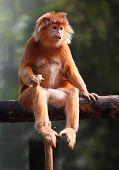 Der Schwarzer Haubenlangur oder Javan Hanuman-Langur (Trachypithecus Auratus).