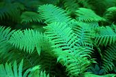 Green Fern Closeup For A Background