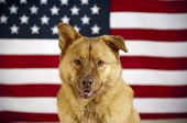 picture of mutts  - American mutt dog with US flag in as background - JPG
