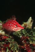 picture of hawkfish  - Longnose hawkfish close - JPG