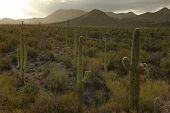 Cactus in desert USA