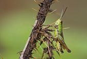Common Green Gasshopper (Omocestus viridulus)