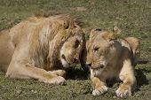 Lion und Löwin