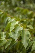 stock photo of eucalyptus leaves  - closeup of eucalyptus leaves outdoors - JPG