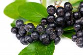 foto of aronia  - Chokeberry  - JPG