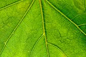 Leaf Pattern, Green, Veins, Backlit, Nature, Fresh Close Up