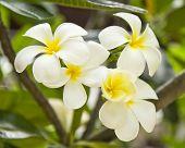 White Frangipani.