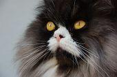 Brugu cat