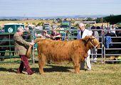 Judging livestock