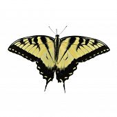 Eastern Tiger Swallowtail Butterfly Isolated On White