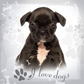 Front view of a French bulldog puppy sitting, looking at the camera, on fancy background