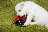 image of swiss shepherd dog  - Baby swiss shepherd playing with yellow boot - JPG