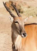 stock photo of eland  - clsoup of the largest African antelope - JPG