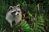 Curious raccoon in a forest looking up